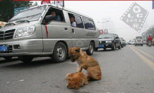2007感动中国十大动物之商丘街头遇车祸小狗冒死救